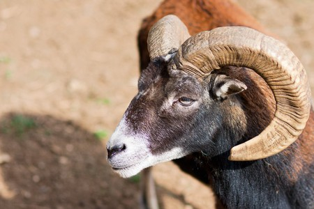 Headshot of a Big Horned Ram photo