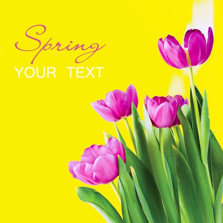 Spring flowers - colorful tulips  photo