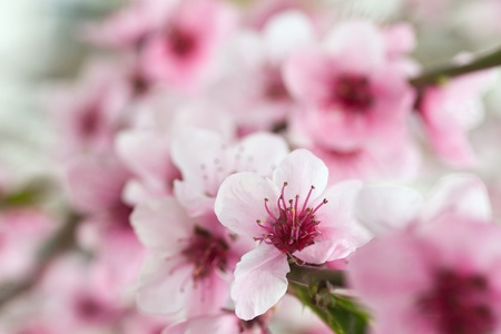 Blooming tree in spring with pink flowers photo