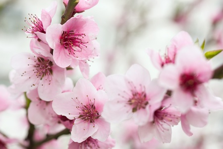 plum tree: Blooming tree in spring with pink flowers
