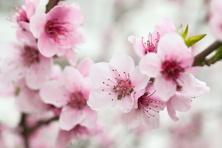 plum blossom: Blooming tree in spring with pink flowers