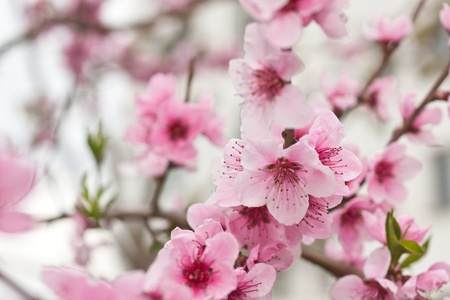 Blooming tree in spring with pink flowers Stock Photo - 9325322
