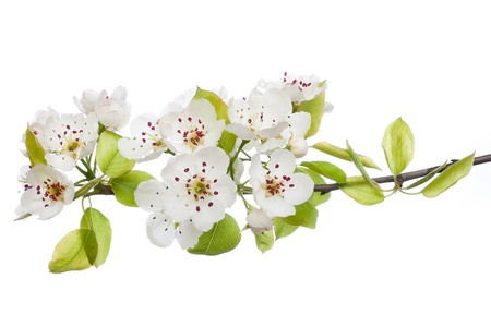 plum blossom: Blooming tree in spring isolated on white