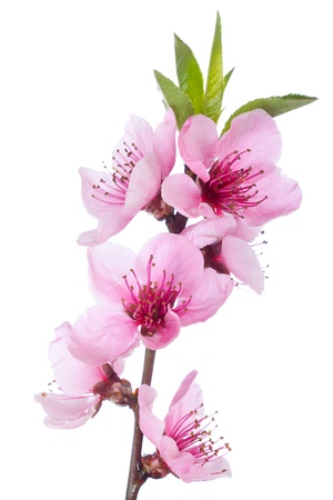 plum flower: Blooming tree in spring with pink flowers