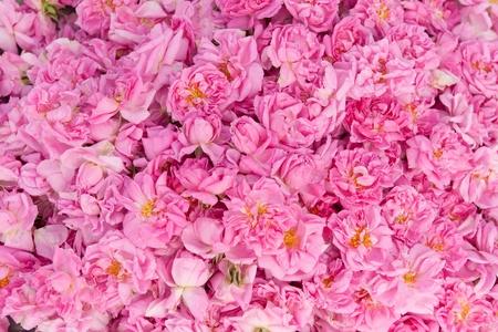 Real Bulgarian Damascena Rose photo