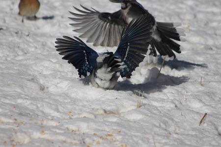 bluejay: Fighting Jays