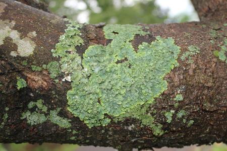 Lichen The Magnolia Tree