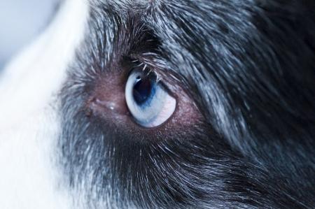 animal vein: eye of the dog
