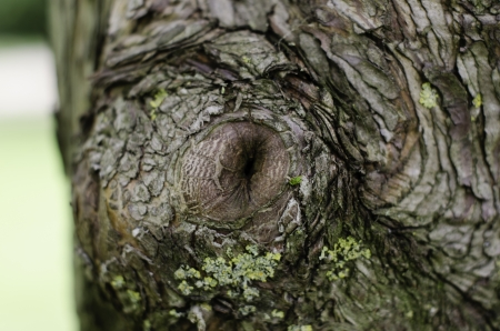 knotted: swirling tree bark with knot and lichen