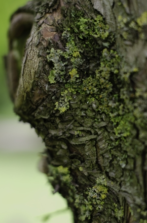 Heavy green lichen growth on British tree bark Stock Photo