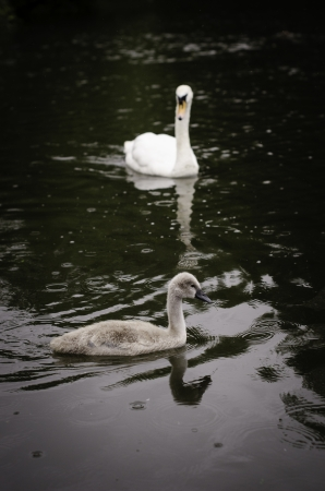 Cygnet with swan in background on a lake with rain drops
