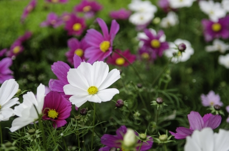 wild purple and white daisies, narrow depth of field