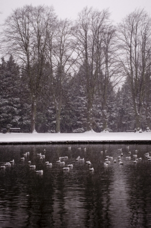 A snowy frozen morning in an English park, with seagulls floating on the pond