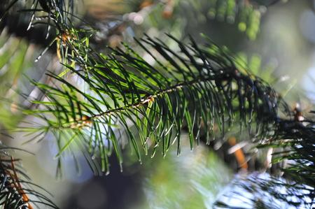 Evergreen Tree Banco de Imagens - 51035563