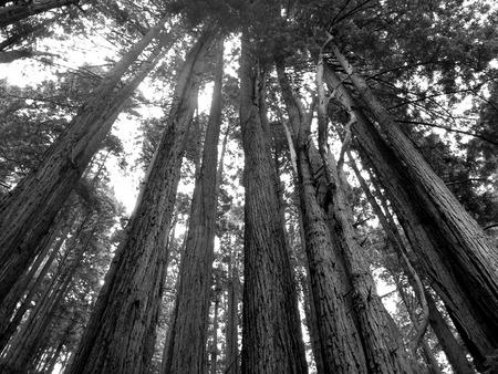 Redwood Forest Banco de Imagens - 51035764