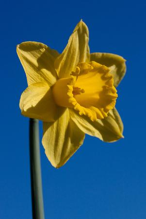 daffodil: Yellow Daffodil