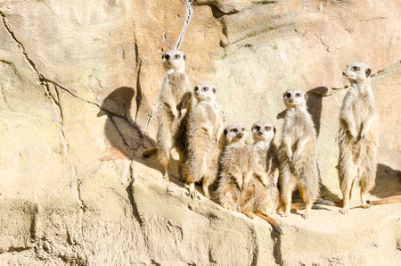 suricata suricatta: Six Slender-Tailed Meerkats stand on their hind legs in sentry duty on an arid rock face. Latin name Suricata suricatta. Meerkats live in dry open grassland. Part of the Mongoose family.