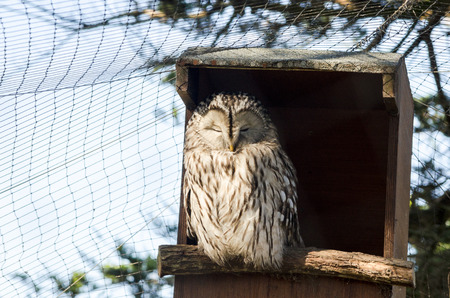secretive: A portrait of an Ural Owl perched on the entrance of it hide or bird box. Latin name Strix uralensis. Ural Owls can be found living in mature forest or open woodland and eat frogs and other large birds. They are quiet and secretive. This is a captive spec