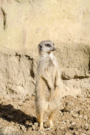 suricata suricatta: A single short-tailed meerket stands on its hind legs acting on sentry duty in front of an arid rock face. Latin name Suricata suricatta. Meerkats live in dry open grassland. Part of the Mongoose family. Stock Photo