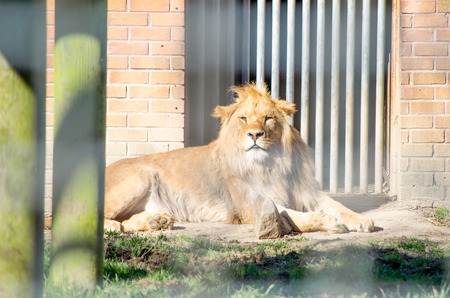 classed: A face-on portrait of a young male African Lion while he lays down resting in the afternoon sun in front of the gate of his enclosure. Picture taken through the bars of the zoo compound. Latin name Panthera leo. The lion is classed as vulnerable on the  Stock Photo