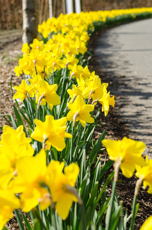 Springtime Daffodils in full bloom. Low angle. Dimishing Lines. Vertical photo