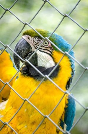 fenced: Macaw Parrot Yellow Green Blue Colourful Beak Bird Fenced Eye Portrait Vertical Stock Photo