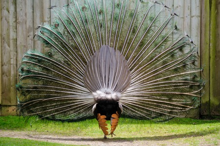 Male Peacock displays his fan of tail feathers to try and attract a mate. Rear view. Horizontal.