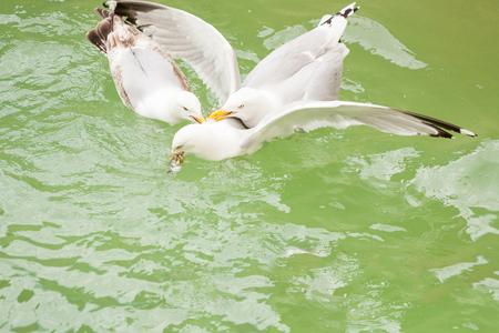 Three seagulls fight over a dead mackerel fish.