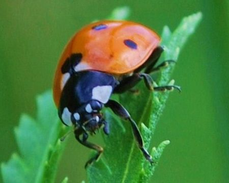 Close-Up Of A Lady Bug Beetle
