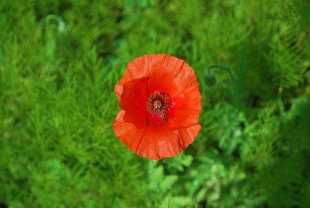 Single red poppy Stock Photo