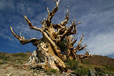 gnarled: El pino Bristlecone  Foto de archivo