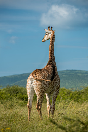 A giraffes stands looking into the distance surrounded by greenery in Umkhuze Game Reserve, Isimangaliso Wetland Park, South Africa