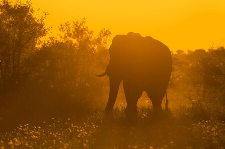 A large, lone, African elephant (loxodonta africana) backlit in shades of golden yellow in the African bush at sunset. Kruger National Park game reserve, South Africa.