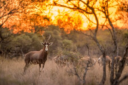 A blesbok standing in the grass, looking at the camera at sunset, with the rest of the herd in the background