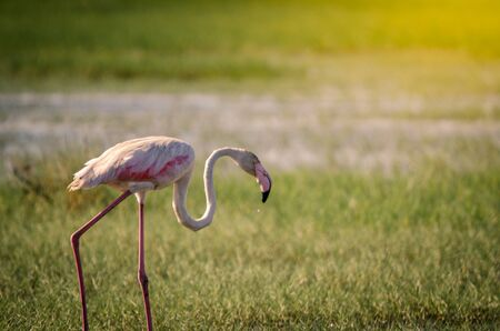 A greater flamingo (phoenicopterus roseus) walking through marshy grasses in Isimangaliso Wetlands park, St. Lucia, South Africa. 写真素材