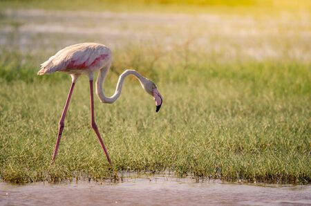 A greater flamingo (phoenicopterus roseus), head bent low, walking through marshy grasses in Isimangaliso Wetlands park, St. Lucia, South Africa.