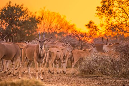 A herd of eland (taurotragus oryx) gathered around shrubs under an intense orange sunset. Dikhololo game reserve, South Africa