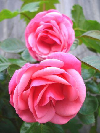 rose bush: Close up of a pink rose bush Stock Photo