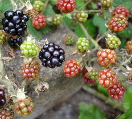 riped: Growing Blackberries Stock Photo