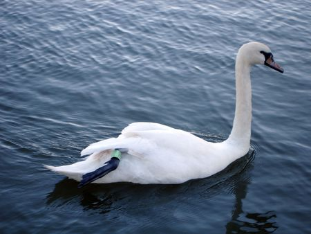 tagged: Swan on a lake