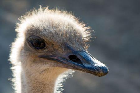 curiousness: Head shot of an ostrich