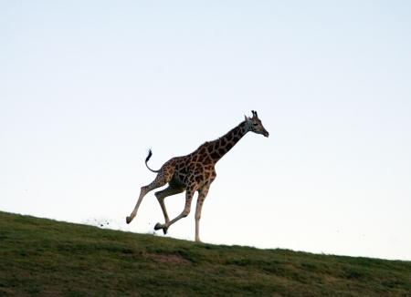 subtropics: Giraffa che corre lungo l'orizzonte Archivio Fotografico