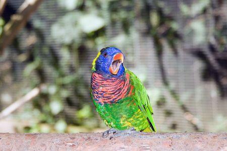 Close up of an australian rainbow lorikeet photo