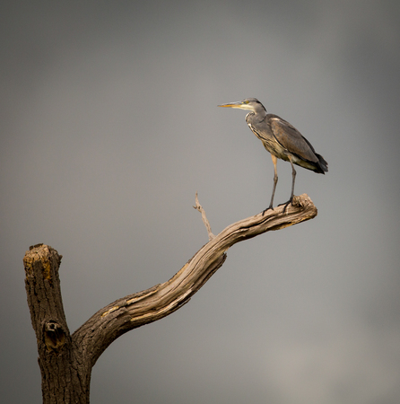 Grey Heron perched on isolated dying branch. Ardeidae