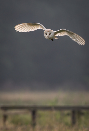 Barn owl hunting early morning over wild meadows with light through wing feathers Tyto alba