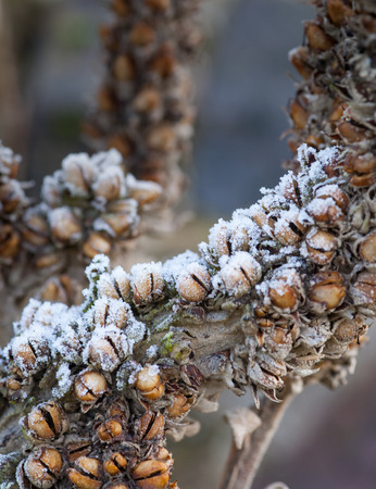 bell shaped: Bell shaped seed heads coated in morning frost