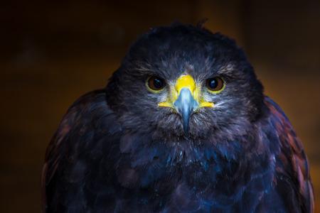 raptor: Intense faced raptor, Intense glare from a grumpy looking raptor