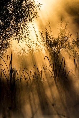 bullrush: Golden sun rays through bushes on a  misty morning. Stock Photo