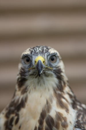 common vision: Close portrait of Buzzard Portrait Buteo buteo with a small feather stuck to his beak. Stock Photo