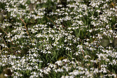 nivalis: Carpet of Common snowdrops Galanthus nivalis heads bowed in the sun on the edge of the wood Stock Photo